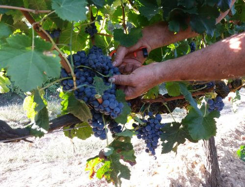 2018 Harvest at the Abadal winery