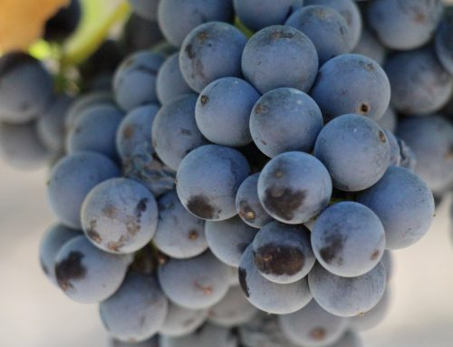 Mandó, a variety resistant to climate change and a responsibility that Bages wineries have embraced